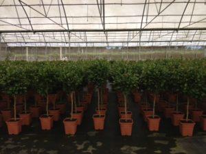 camellia-copa-c28-14l-tc-2013